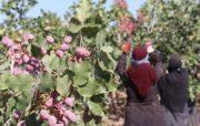 ریال مورد درخواست کشاورزان و صادرکنندگان پسته پرداخت می شود/ ضرورت تخصیص ۵ هزار میلیارد تومان توسط دولت برای صادرات بخش کشاورزی