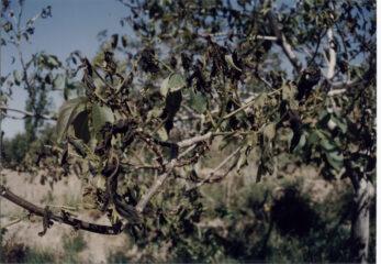 سرمازدگی؛ خسارت ۸ هزار میلیارد تومانی به محصول پسته استان وارد کرد